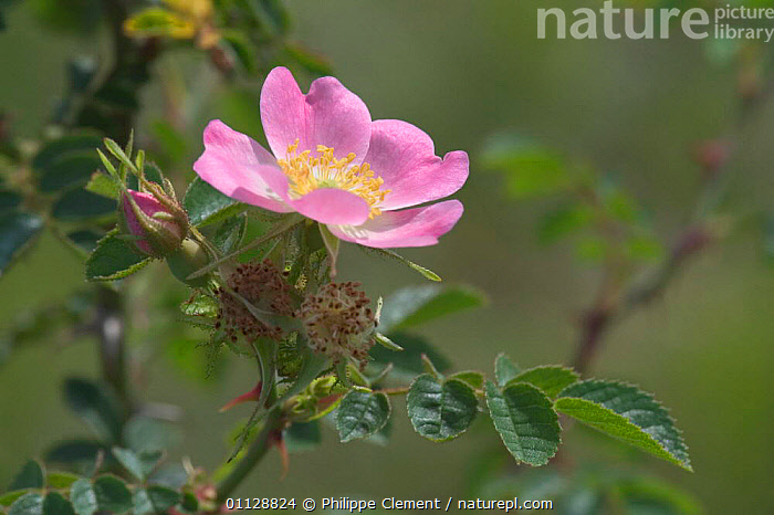 Sweet briar rose {Rosa rubiginosa} Belgium  ,  PLANTS,HEDGEROWS,FLOWERS,EUROPE,ROSES  ,  Philippe Clement