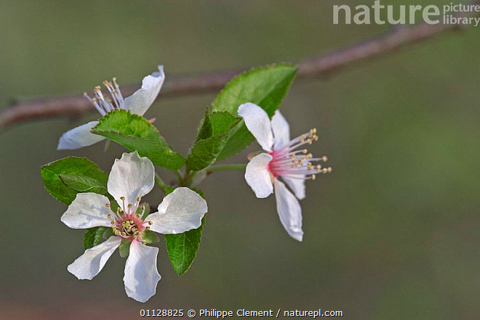 Sweet cherry tree flowers {Prunus avium} Belgium, TREES,EUROPE,PLANTS,BLOSSOM, Philippe Clement