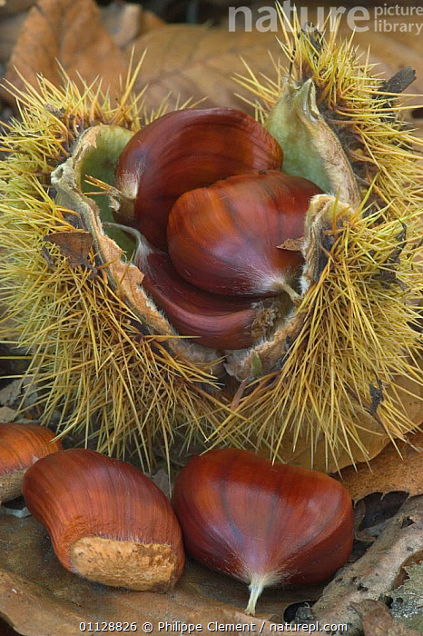 Sweet chestnuts {Castanea sativa} Belgium  ,  NUTS,NUT,FRUIT,EUROPE,EDIBLE,TREES,VERTICAL,SEEDS,Plants  ,  Philippe Clement