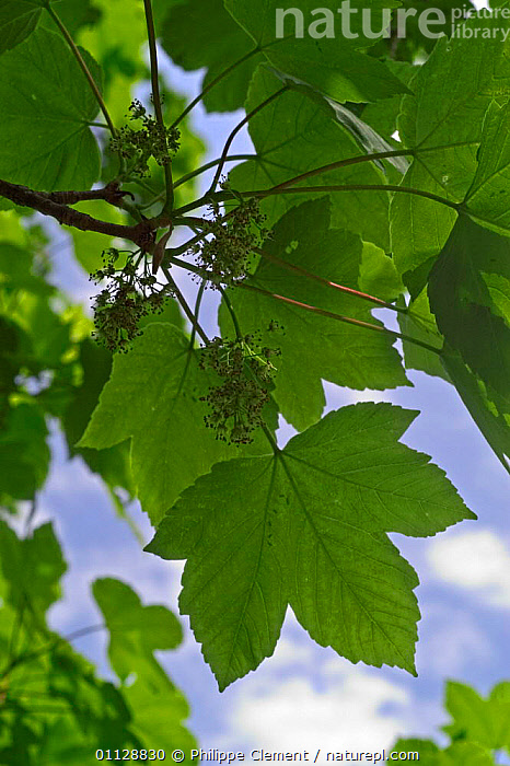 Sycamore tree leaves {Acer pseudoplatanus} Belgium  ,  PLANTS,EUROPE,VERTICAL,TREES  ,  Philippe Clement