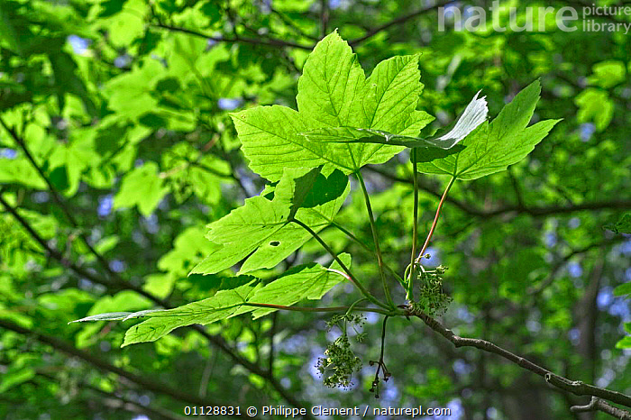 Sycamore tree leaves {Acer pseudoplatanus} Belgium, TREES,EUROPE,PLANTS, Philippe Clement