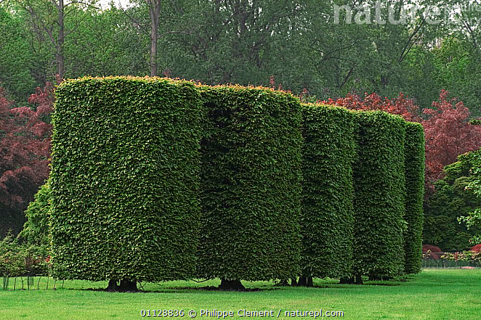 Trimmed Beech trees in park, Belgium, CLIPPED,HEDGE,GARDENS,LANDSCAPES,TOPIARY,SQUARE,Europe, Philippe Clement