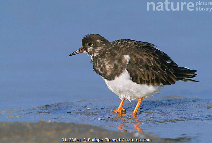 Turnstone with feathers fluffed up {Arenaria interpres} Belgium, BIRDS,COASTS,EUROPE,THERMOREGULATION,TURNSTONES,WADERS, Philippe Clement