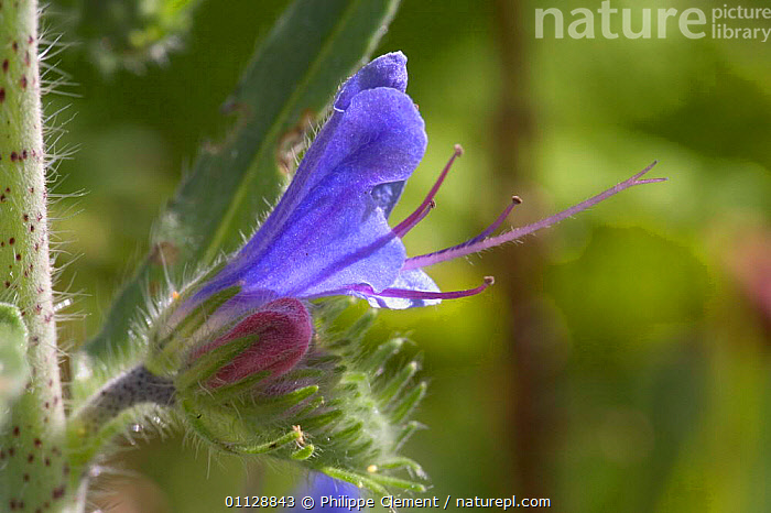 Viper's bugloss flower {Echium vulgare} France  ,  PLANTS,FLOWERS,EUROPE,CLOSE UPS,VIPER  ,  Philippe Clement