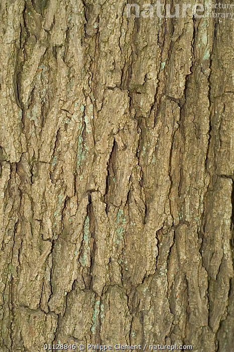 Close-up of bark of Walnut tree {Juglans regia} Belgium  ,  VERTICAL,TRUNKS,TREES,EUROPE,CLOSE UPS,Plants  ,  Philippe Clement