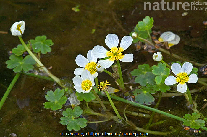 Pond water crowfoot {Ranunculus peltatus} Belgium  ,  AQUATIC,BUTTERCUPS,EUROPE,FLOWERS,FRESHWATER,PLANTS,PELTATUS,PONDS,LAKES,WETLANDS  ,  Philippe Clement