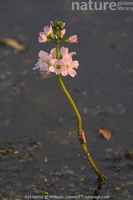 Water violet {Hottonia palustris} France  ,  PLANTS,FRESHWATER,FLOWERS,EUROPE,AQUATIC,AQUATIC,PLANTS,VERTICAL,PONDS,LAKES,WETLANDS  ,  Philippe Clement