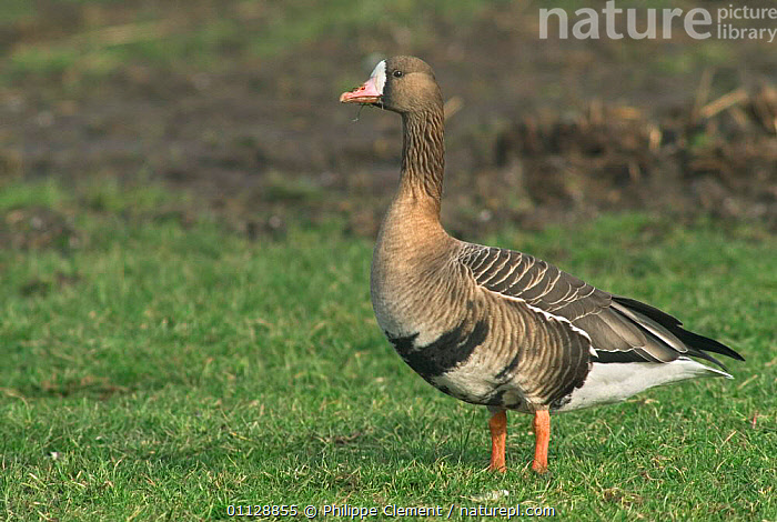White fronted goose {Anser albifrons} Netherlands  ,  WATERFOWL,PORTRAITS,PROFILE,BIRDS,EUROPE,GEESE,HOLLAND,Wildfowl, waterfowl  ,  Philippe Clement