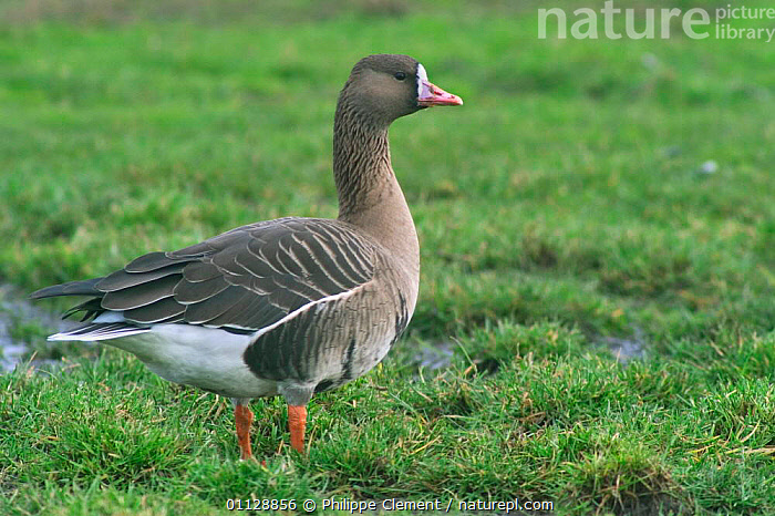 White fronted goose {Anser albifrons} Netherlands  ,  HOLLAND,GEESE,EUROPE,BIRDS,PROFILE,PORTRAITS,WATERFOWL,Wildfowl, waterfowl  ,  Philippe Clement