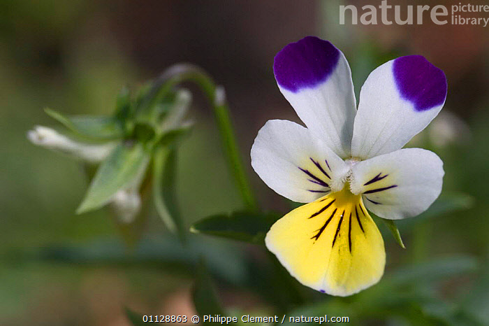 Wild pansy flower {Viola tricolor} Belgium  ,  FLOWERS,EUROPE,PLANTS,PANSIES  ,  Philippe Clement