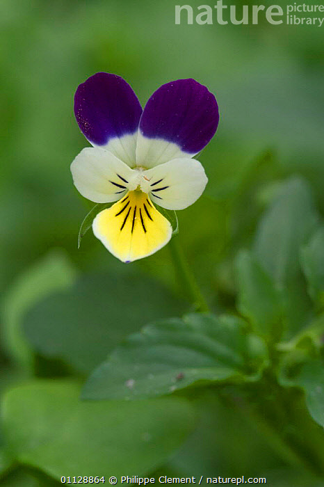 Wild pansy flower {Viola tricolor} Belgium, PANSIES,PLANTS,EUROPE,FLOWERS,VERTICAL, Philippe Clement
