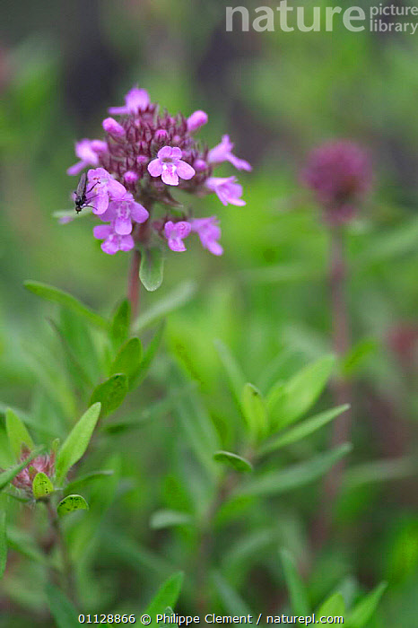 Wild thyme {Thymus serpyllum} France  ,  HERBS,PLANTS,EUROPE,FLOWERS,VERTICAL  ,  Philippe Clement