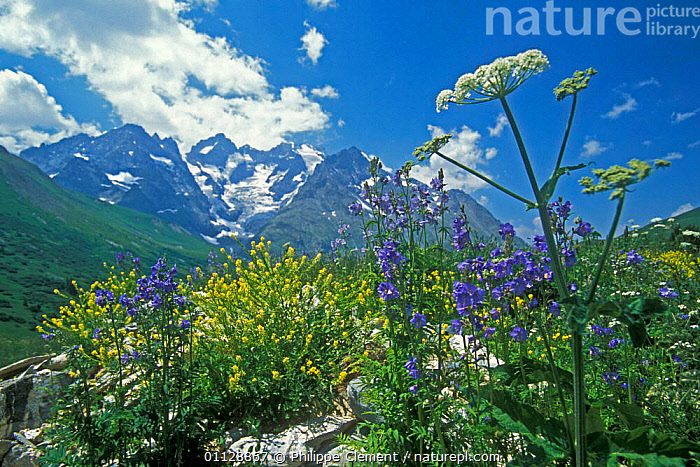 Mixed Wild flowers in the Alps, France, WILDFLOWERS,SUMMER,FLOWERING,ALPINE,PLANTS,MOUNTAINS,LANDSCAPES,Europe, Philippe Clement