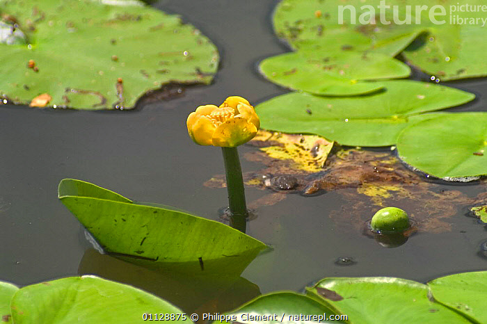 Yellow waterlily {Nuphar lutea} Belgium  ,  FLOWERS,FRESHWATER,EUROPE,AQUATIC,BUD,BUDS,LEAVES,WATER,PONDS,LAKES  ,  Philippe Clement