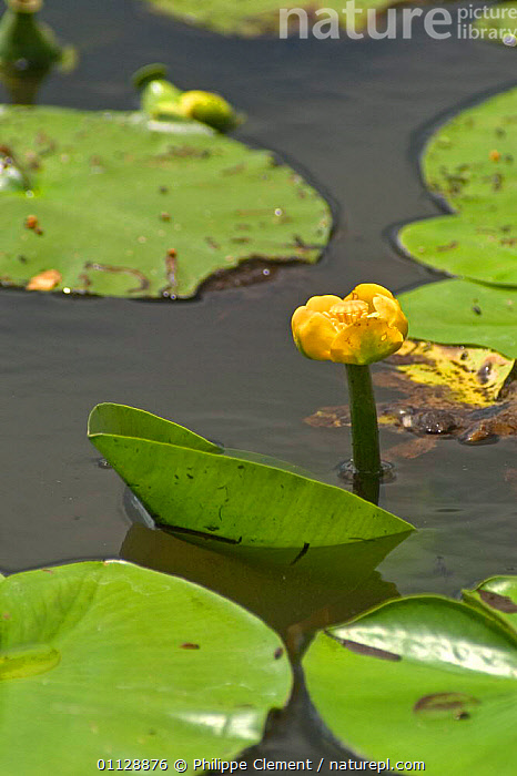 Yellow waterlily {Nuphar lutea} Belgium, LEAVES,BUDS,BUD,AQUATIC,EUROPE,FRESHWATER,FLOWERS,VERTICAL,WATER,LILIES,LAKES,PONDS, Philippe Clement