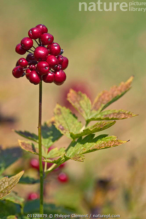 Berries of European baneberry {Actaea sp} Belgium  ,  PLANTS,FRUIT,EUROPE,VERTICAL  ,  Philippe Clement