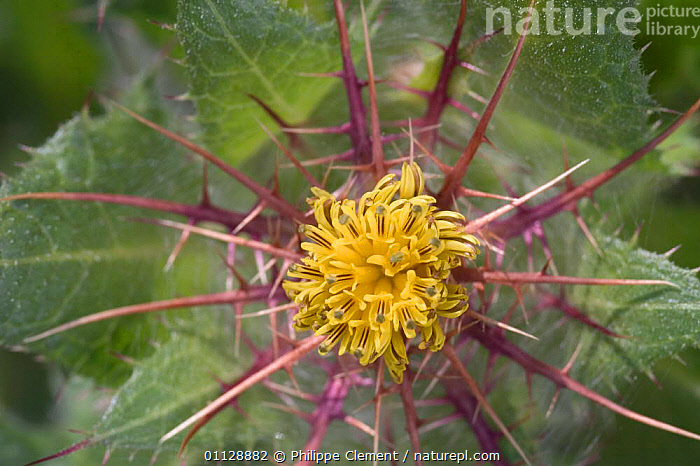 Close up of flower of Blessed thistle {Centaurea benedictus} France, ASTERACEAE, COMPOSITAE, DICOTYLEDONS, EUROPE, FLOWERS, PLANTS, THORNS, Philippe Clement