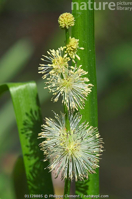 Close-up of Narrowleaf bur-reed flower {Sparganium emersum} France, MONOCOTYLEDONS,PLANTS,BURREED,CLOSE UPS,FLOWERS,EUROPE,VERTICAL,WETLANDS,, Philippe Clement