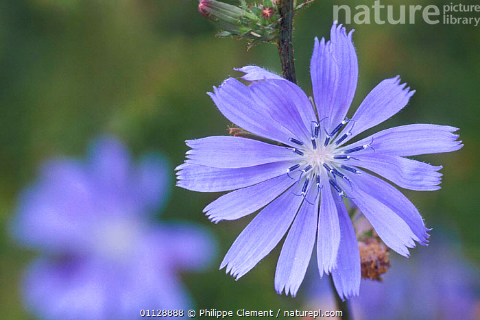 Chicory flower {Cichorium intybus} Belgium  ,  EUROPE,FLOWERS,PLANTS,GARDEN  ,  Philippe Clement