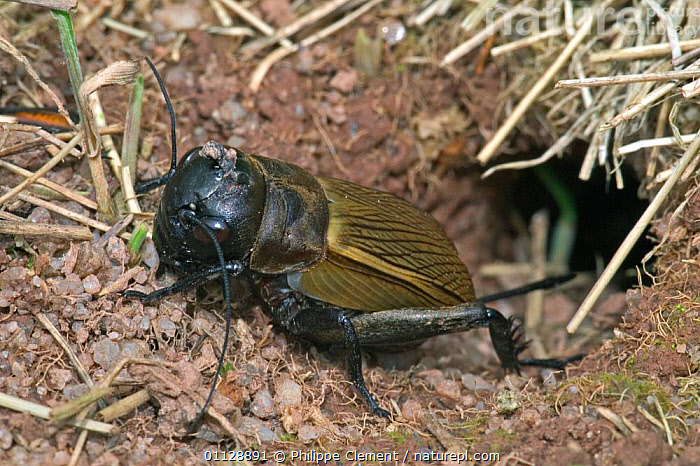 Field cricket leaving burrow {Gryllus campestris} France  ,  ORTHOPTERA,HOMES,INSECTS,INVERTEBRATES,EUROPE,CRICKETS  ,  Philippe Clement