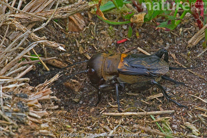 Field cricket entering burrow {Gryllus campestris} France, CRICKETS,EUROPE,INVERTEBRATES,INSECTS,HOMES,ORTHOPTERA, Philippe Clement
