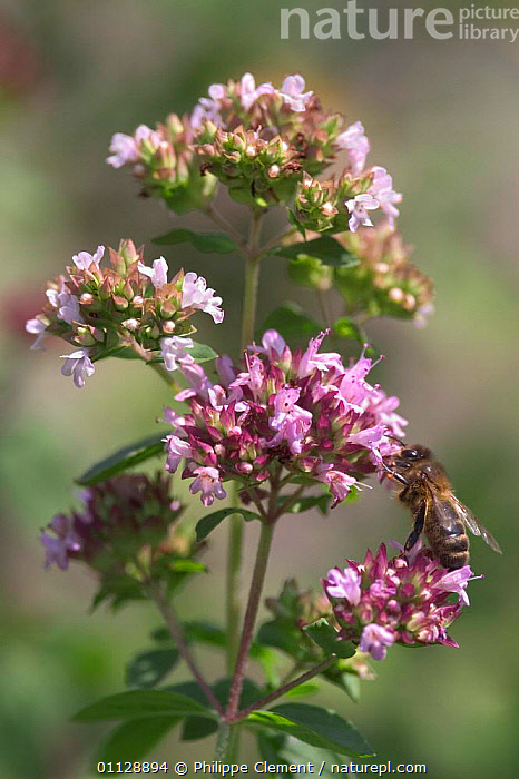 Marjoram {Origanum vulgare} with bee feeding on flower, France, EUROPE,FLOWERS,INSECTS,HONEY,HERBS,PLANTS,POLLINATION,VERTICAL,Invertebrates, Philippe Clement