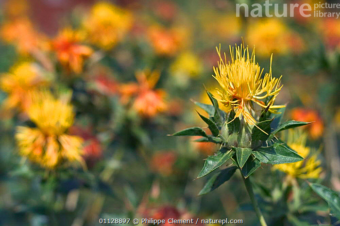 Safflower {Carthamus tinctorius} France, PLANTS,FLOWERS,CROPS,CLOSE UPS, Philippe Clement