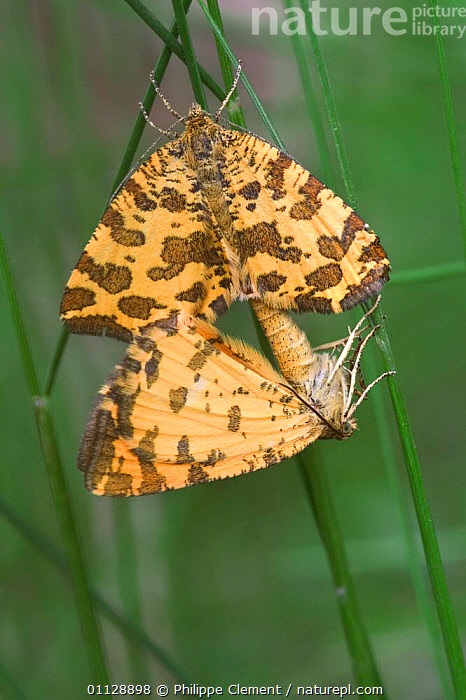 Speckled yellow moths mating, France {Pseudopanthera macularia}, EUROPE, INSECTS, INVERTEBRATES, LEPIDOPTERA, LOOPER-MOTHS, MOTHS, REPRODUCTION, Philippe Clement
