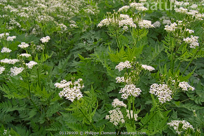 Sweet cicely in flower {Myrrhis odorata} Provence, France, FLOWERS,EUROPE,PLANTS,HERBS, Philippe Clement