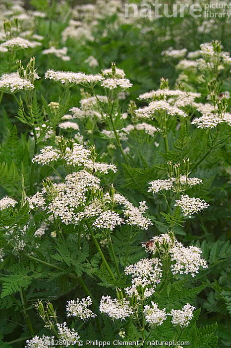 Sweet cicely in flower {Myrrhis odorata} Provence, France  ,  HERBS,PLANTS,EUROPE,FLOWERS,VERTICAL  ,  Philippe Clement
