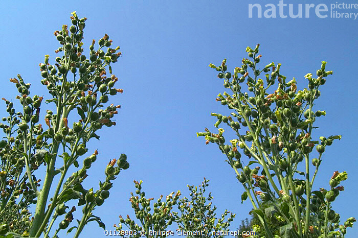 Wild tobacco plants {Nicotiana rustica} Belgium, native to South America  ,  HIGH ANGLE SHOT,EUROPE,AGRICULTURE,CULTIVATION ,low angle  ,  Philippe Clement