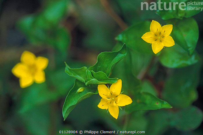 Yellow pimpernel in flower {Lysimachia nemorum} France, EUROPE,FLOWERS,PLANTS,WILDFLOWERS,THREE, Philippe Clement