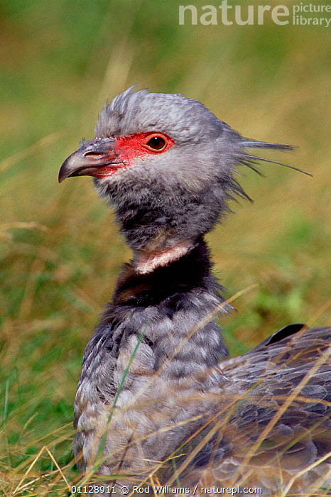 Crested screamer {Chauna torquata} captive, from South America, VERTICAL,SOUTH AMERICA,PORTRAITS,SCREAMERS,BIRDS, Rod Williams