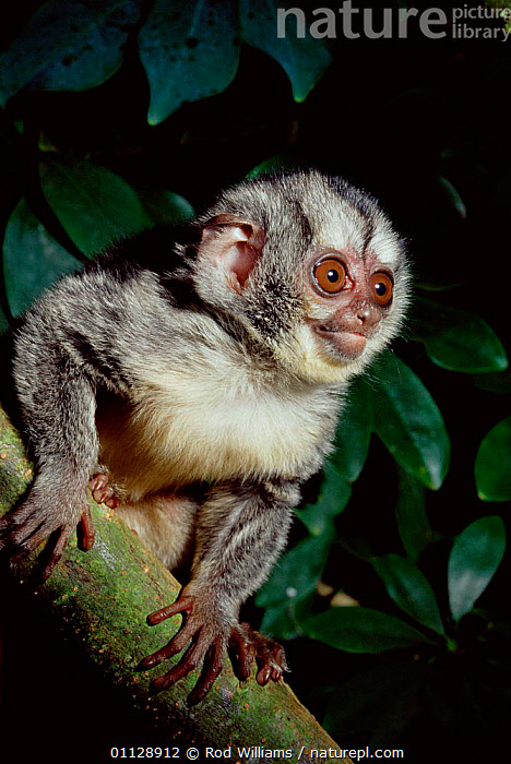 Grey legged douroucouli/ night monkey {Aotus lemurinus griseimembra} captive, endangered species, DOUROUCOULI,COLOMBIA,PRIMATES,MONKEYS,EYES,VERTICAL,SOUTH AMERICA,NOCTURNAL,MAMMALS,PORTRAITS, Rod Williams