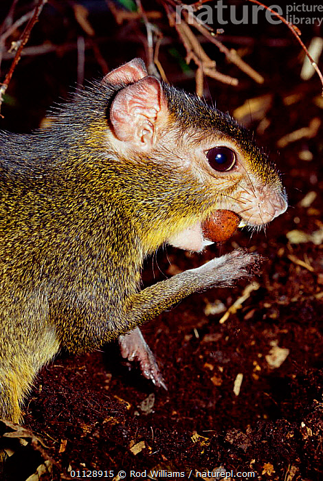 Green acouchi feeding on nut {Myoprocta acouchy} captive, from Amazonia  ,  SOUTH AMERICA,TROPICAL RAINFOREST,RODENTS,VERTICAL,ACOUCHIS,MAMMALS  ,  Rod Williams