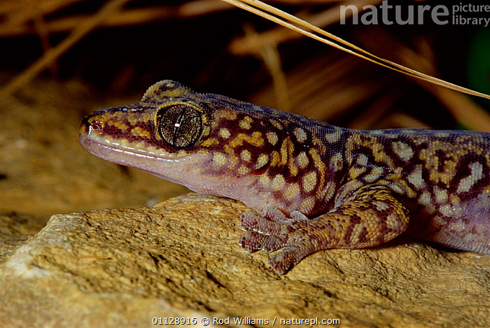 Southern spotted / Tryon's velvet gecko {Oedura tryoni} captive, from Australia, LIZARDS,EYES,GECKOS,REPTILES,PORTRAITS,TYRONS,TRYSON, Geckos, Rod Williams