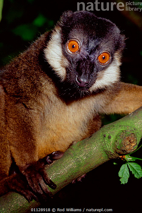 Male White collared brown lemur {Lemur fulvus albicollaris} captive, from Madagascar. Critically Endangered., ABLICOLLARIS,EYES,MAMMALS,PORTRAITS,PRIMATES,VERTICAL,LEMURS, Rod Williams