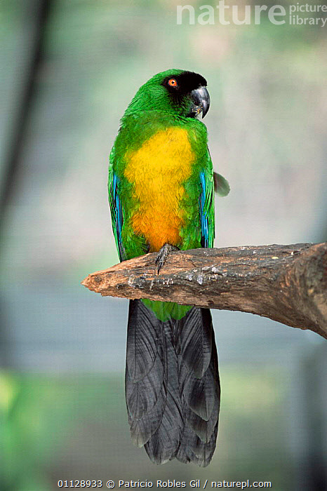 Masked shining parrot {Prosopeia personata} Fiji, captive, PACIFIC ISLANDS,OCEANIA,PARROTS,VERTICAL,PORTRAITS,BIRDS, Patricio Robles Gil