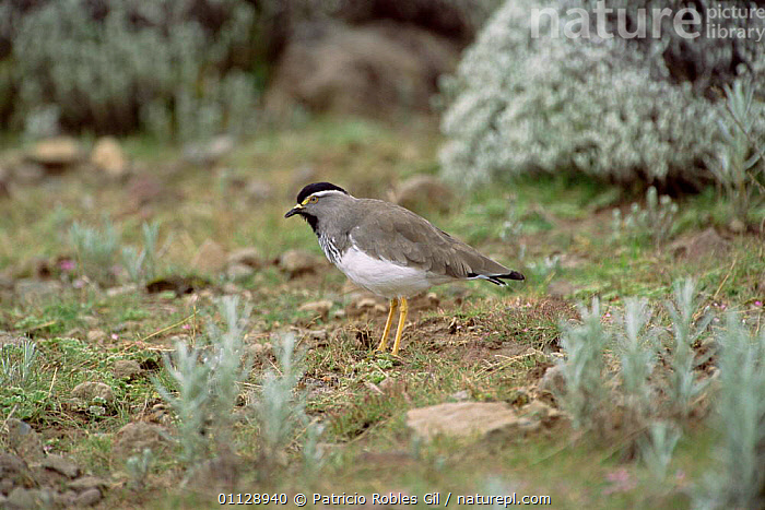 Spot breasted lapwing {Vanellus melanocephalus} Bale mountains, Ethiopia, MTNS,WADERS,PLOVERS,EAST AFRICA,BIRDS,Africa, Waders, Patricio Robles Gil