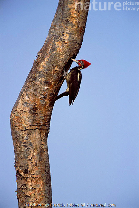 Lineated woodpecker at nest hole {Dryocopus lineatus} Yucatan, Mexico  ,  BIRDS, VERTEBRATES, VERTICAL, WOODPECKERS  ,  Patricio Robles Gil