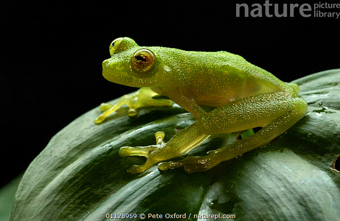 Glass frog on leaf {Hyalinobatrachium sp} Amazonia, SE Ecuador  ,  TROPICAL RAINFOREST,SOUTH AMERICA,AMPHIBIANS,Anura,Frogs  ,  Pete Oxford