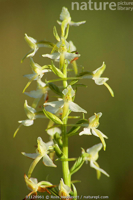 Lesser butterfly orchid {Platanthera bifolia} Devon, UK.  ,  UK,ORCHIDS,PLANTS,VERTICAL,FLOWERS,EUROPE,CLOSE UPS,United Kingdom,British,GettyBOV  ,  Ross Hoddinott