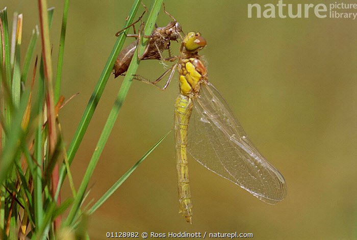 Common darter hatching from pupal case {sympetrum striolatum} cornwall UK.  ,  UK,METAMORPHOSIS,DRAGONFLIES,DRAGONFLYS,INSECTS,EUROPE,United Kingdom,Growth,Invertebrates,British,Odonata,Concepts,GettyBOV  ,  Ross Hoddinott