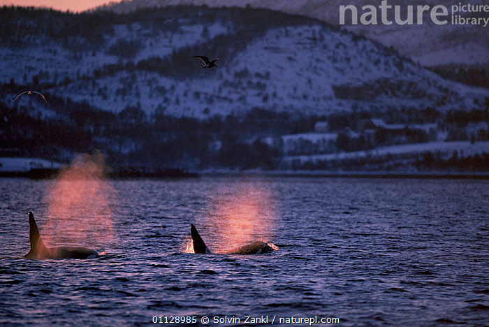 Killer whales spouting {Orcinus orca} Tysfjord, Norway  ,  SUNRISE,SURFACE,TWO,CETACEANS,COASTAL WATERS,DOLPHINS,ARCTIC,EUROPE,MAMMALS  ,  Solvin Zankl