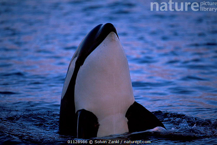 Killer whale spy hopping {Orcinus orca} Tysfjord, Norway  ,  SURFACE,EUROPE,ARCTIC,BEHAVIOUR,DOLPHINS,COASTAL WATERS,CETACEANS,MAMMALS,PORTRAITS  ,  Solvin Zankl