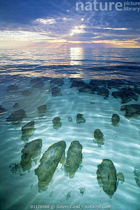 Stromatolites in Hamelin Pool, Shark Bay, Western Australia.  ,  TIDE,LANDSCAPES,ROCK FORMATIONS,VERTICAL,COASTS,FOSSILS,LITTORAL,Intertidal,Geology,Catalogue1  ,  Solvin Zankl