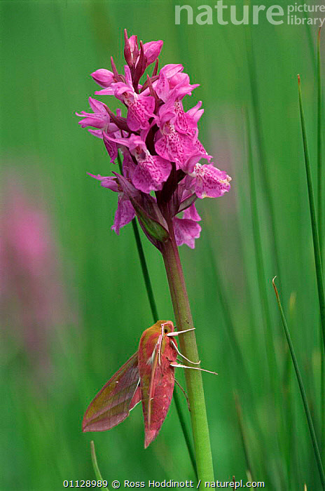 Elephant hawkmoth {Deilephila elpenor} on orchid, Cornwall, UK  ,  MOTHS,INVERTEBRATES,VERTICAL,PLANTS,LEPIDOPTERA,EUROPE,INSECTS,FLOWERS,GettyBOV,United Kingdom  ,  Ross Hoddinott