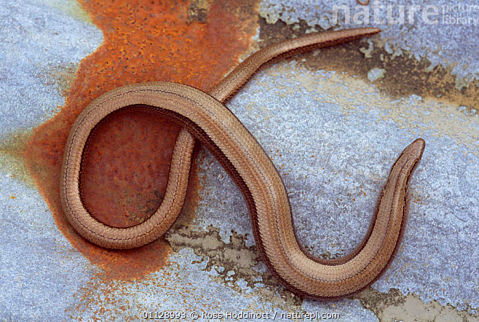 Slow worm {Anguis fragilis} Cornwall, UK., THERMOREGULATION,REPTILES,SUNNING,LIZARDS,UK,EUROPE,ENGLAND,United Kingdom,British,GettyBOV,,Lizards,,,Lizards,, Ross Hoddinott