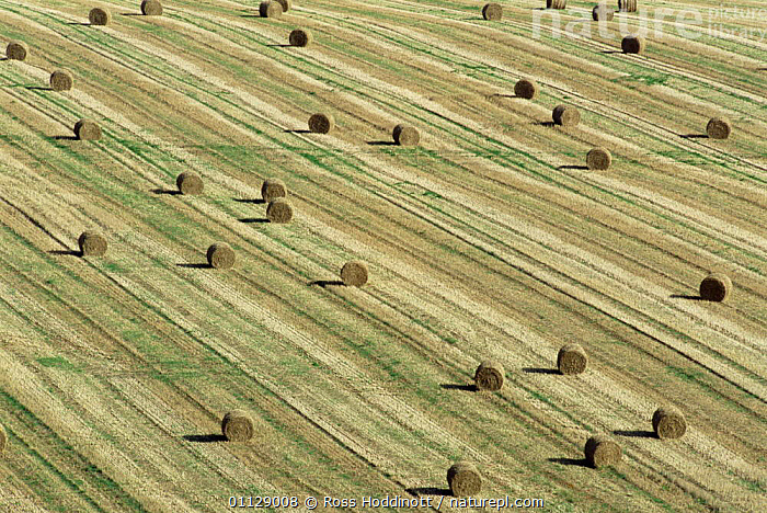Round straw bales in field, Cornwall, UK., AGRICULTURE,EUROPE,LANDSCAPES,PATTERNS,UK,United Kingdom,British,ENGLAND,GettyBOV, Ross Hoddinott