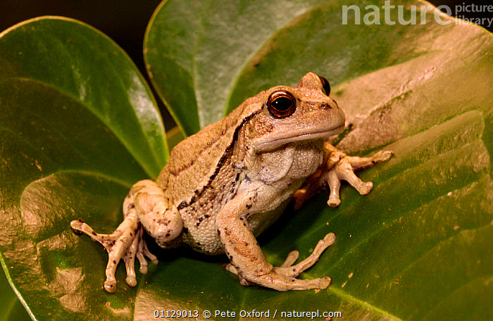 Marsupial tree frog {Gastrotheca plumbea} Ecuador  ,  SOUTH AMERICA,TROPICAL RAINFOREST,TREEFROG,FROGS,AMPHIBIANS,Anura  ,  Pete Oxford